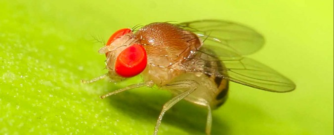 fruitvliegjes-vangen